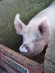 Pig at Beamish
